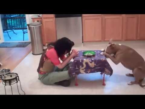 Amazingly Smart Pit Bull performs Fancy Tricks