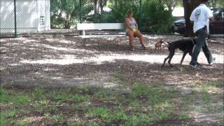Doberman Diesel Advance Obedience At The Dog Park - K9 Enforcement Training