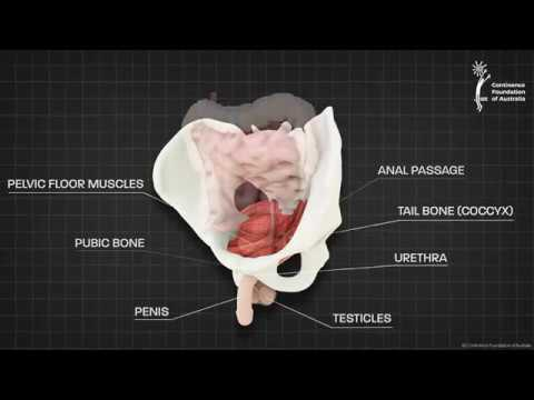 Male Pelvic Floor Muscle - 3D Animation