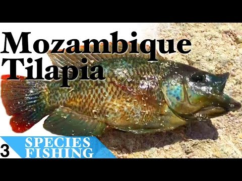 Mozambique Tilapia #3 Bait Fishing At Salton Sea California - Species Fishing