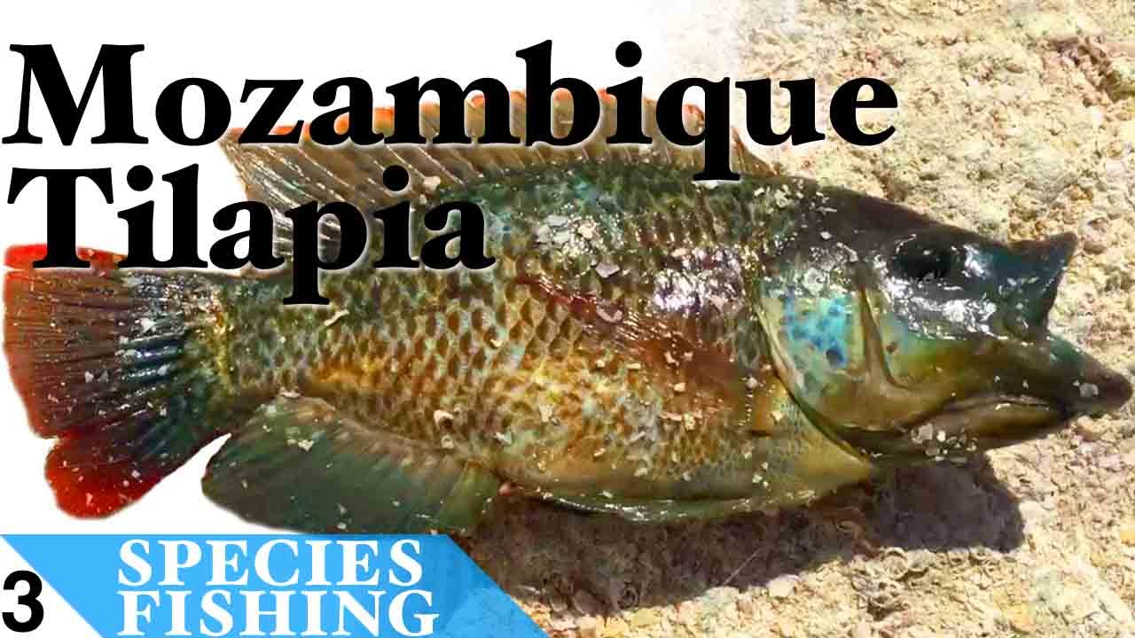 Mozambique tilapia 3 bait fishing at salton sea for Salton sea fishing report
