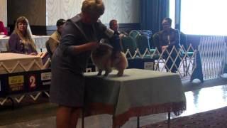 Best Of Breed Columbia Pomeranian Kennel Club 10-26-11 Judge Sari Brewster Tietjen.mp4