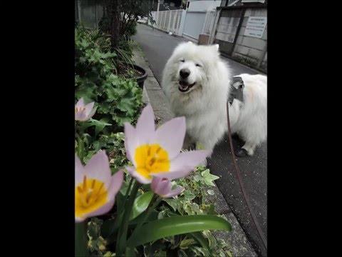 サモエド クローカ 「spring 2016」 (samoyed kloka)