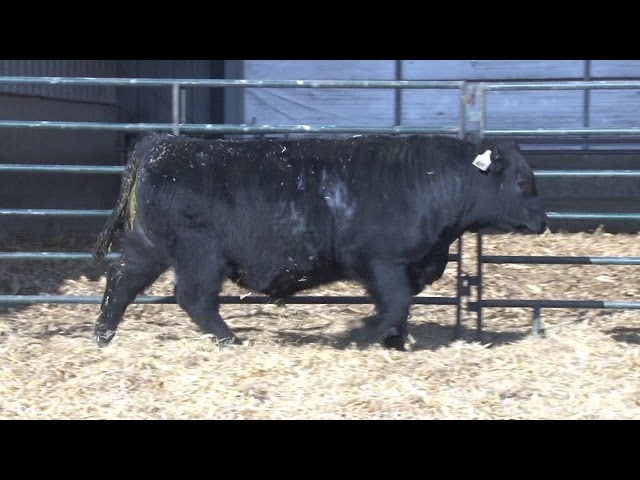 Schiefelbein Angus Farms Lot 100