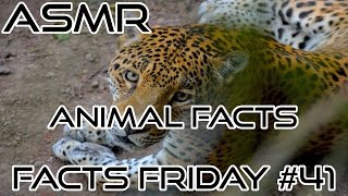 ASMR | Animal Facts - African Lions, Jaguars, Cheetahs, & Siberian Tigers | Ear To Ear Whisper