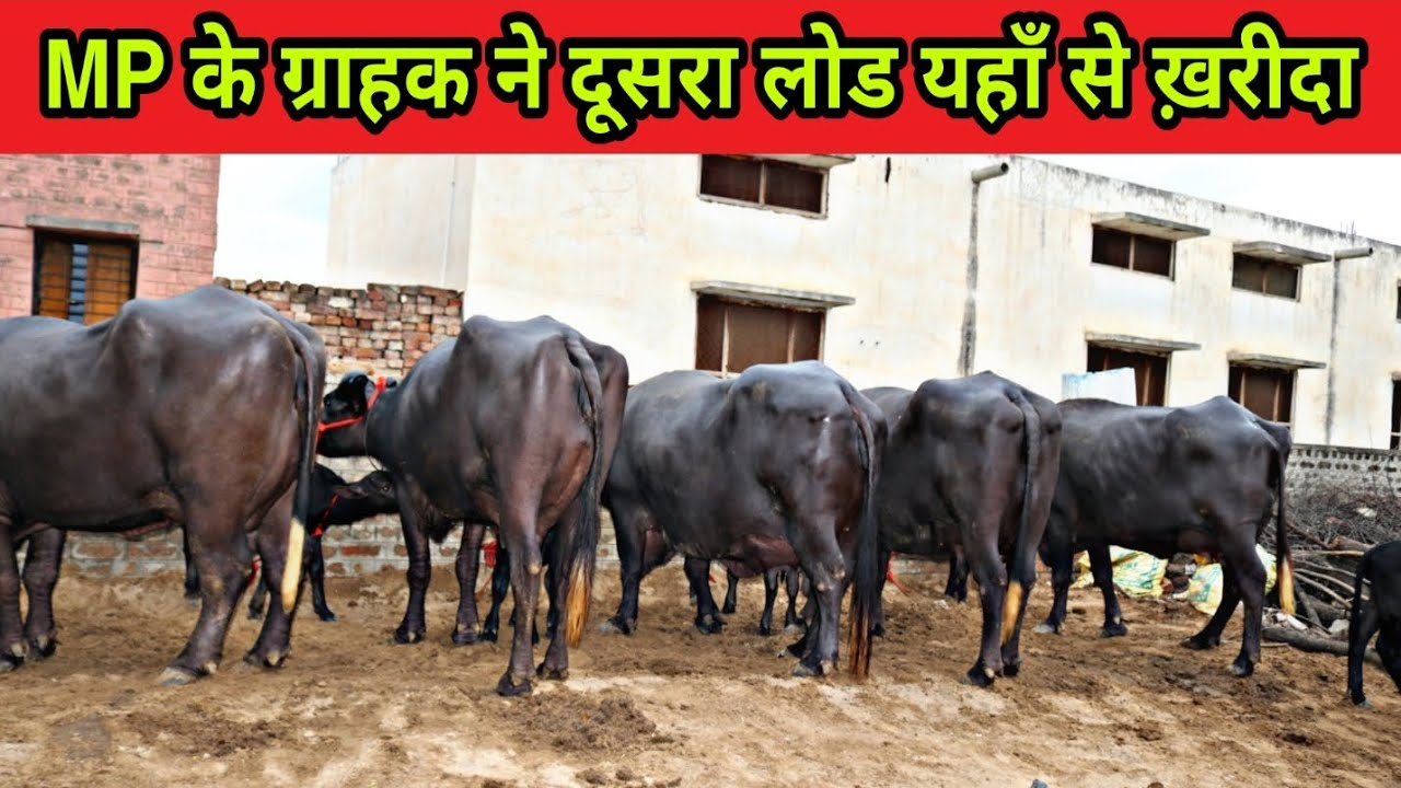 Murrah Buffaloes supply all over India. Working since 55 years. Mahender Dairy Farm