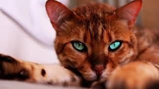 Самые популярные кошки в мире! ТОП-10 Самых популярных пород кошек в мире!