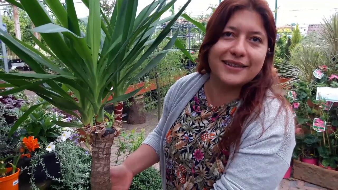 Tronchetto Della Felicità Da Esterno consigli pratici su come coltivare la yucca o tronchetto della felicità