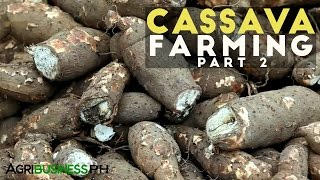 Cassava Farming Part 2 : How to grow Cassava | Agribusiness Philippines