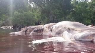 Ikan Besar Terdampar di pantai anakotao/Hulung Des