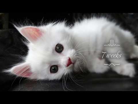 Skoll White Maine Coon Kitten Growing Up Slideshow