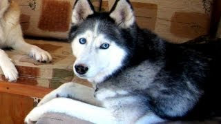 A Giant Dog House?  Kind Of.. .  Siberian Husky Dog House