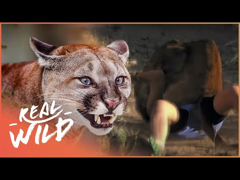 Kids Being Hunted By A Wolf! | Top 5 Worst Human Prey Attacks | Real Wild