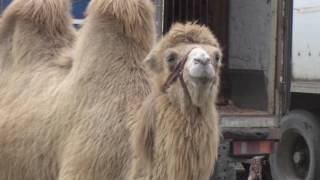 Жестокое обращение с животными в цирке 28 03 2017