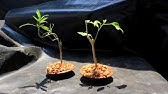 How To Create Bonsai Tree From Collected Material 1st Repotting Nerium Oleander Yamadori Youtube
