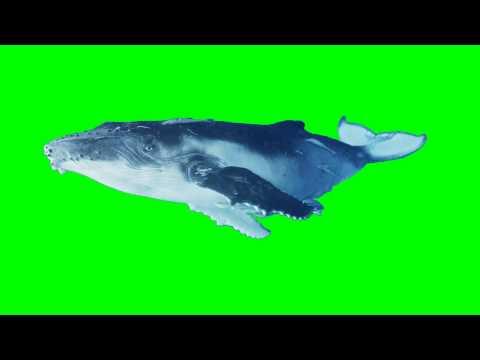 Blue Whale Animation - Chroma Keyed Layer - Free