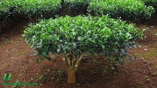 Porovnání antimutagenních účinků zeleného a bílého čaje