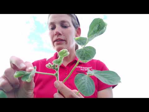 Diagnosing Off-Target Dicamba Injury to Soybean