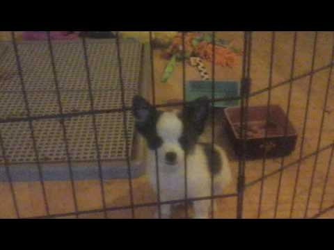 Housebreaking A Chihuahua Puppy Is So Simple
