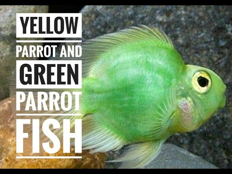 Yellow Parrot and Green Parrot Fish
