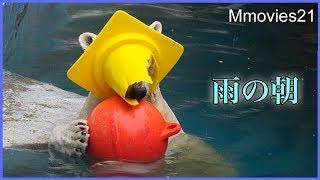 雨の中のイッちゃん 三角コーンを被って楽しんでます Polar Bear in the rain
