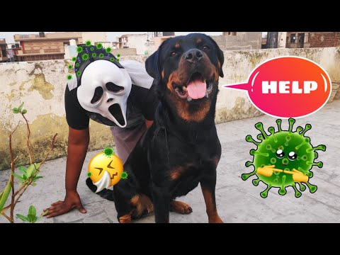 virus-ho-gaya-😱🤮😷🤕-||-dog-can-talk-part-22-||-roxy-||-rottweiler-||review-reloaded-||