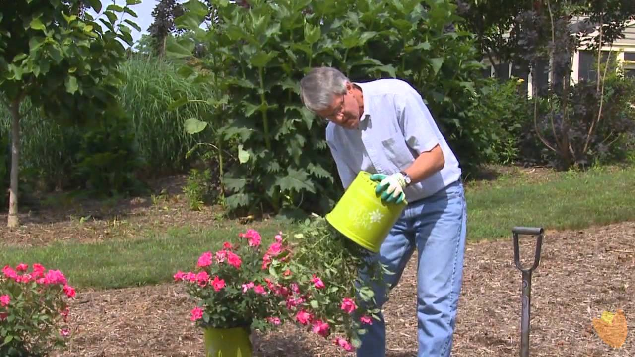 How To Plant Knockout Roses By Brighter
