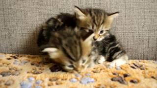 Питомник Spark Heart сибирские котята