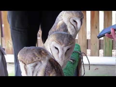 Social Media Consultant Cape Town with Barn Owls at Spier Eagle Encounter doing a little jig.