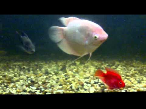 THE BIG FISH: gigas arapaima - the giant arowana |Giant Arowana