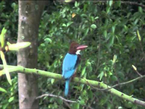 Bird Sounds -- KINGFISHER