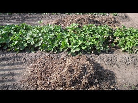 Почему на моем участке мульча клубники из сосновой хвои не закисляет почву