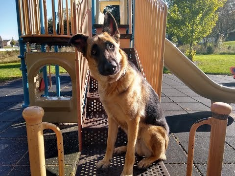Jax- 1.5yo German Shepherd - Dog Training Omaha/Lincoln, Nebraska