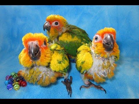 Kamili, Skittles, and Lobo -- Baby Sunday Conures