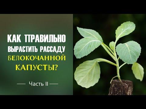 Как правильно вырастить рассаду белокочанной капусты? Часть 2
