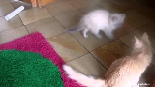 Турецкая ангора - порода кошек