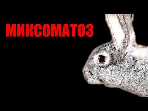 Миксоматоз у кроликов. Кролиководство в домашних условиях
