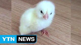 [단독영상] 폭염이 낳은 생명의 신비...또 병아리 부화! / YTN (Yes! Top News)