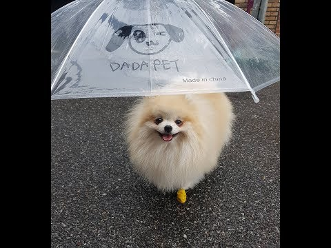 비가와도 부츠와 우산쓴 귀여운 포메의 산책을 막을 순 없지!