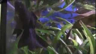 Черная бархатная рыбка Телескоп.(, 2013-10-26T00:03:41.000Z)