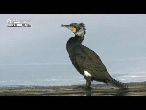 Kormorán velký (Phalacrocorax carbo)