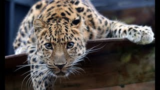 Животный мир. Леопард. Самый таинственный из кошачьих. Охота. Территория. Рай хищников.