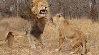 brutal fight how male lion attack female lion will shock you