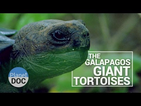 The Galapagos Giant Tortoises | Wild Animals - Planet Doc Full Documentaries