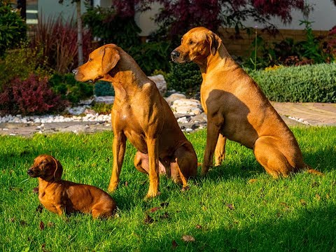 Rhodesian Ridgebacks- new channel about real passion
