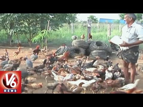 Farmers Earn Profits By Country Chicken Farming In Khammam | Special Story  | V6 News