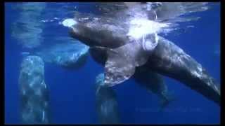 Sperm whale kisses free diver