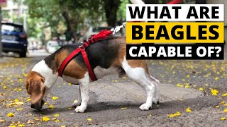 8 Amazing Abilities of Beagles