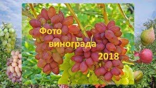 Новые сорта винограда и испытанные. Фото винограда Гергеля