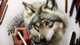 Colored Pencil Drawing: Grey Wolf - Speed Draw   Jasmina Susak